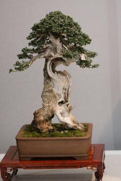 ":-: ""Olea europaea"" var sylvestris, European olive bonsai, Olivo"