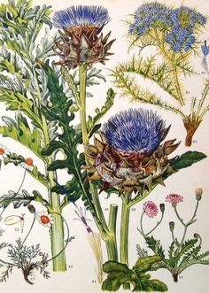 Botanical Prints Flowers What appears to be a botanical illustration of thistles, chamomile, and chicory.What appears to be a botanical illustration of thistles, chamomile, and chicory. Vintage Botanical Prints, Botanical Drawings, Botanical Illustration, Illustration Art, Vintage Illustrations, Botanical Flowers, Botanical Art, Flower Art, Flower Prints