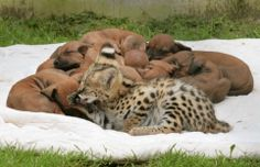 Shakira the Serval kitten adopted by a pack of Rhodesian Ridgeback dogs. (Munich, Germany)