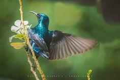 Purple Sunbird (Cinnyris asiaticus)