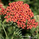Yarrow  Attracts: Banded Hairstreak, Lorquin Admiral, West Coast Lady, American Copper, Red-banded Hairstreak,