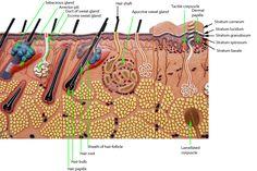 22 ideas for skin model labeled Skin Anatomy, Anatomy Study, Bohr Model, Organic Eye Cream, Hair Science, Anatomy Models, Facial, Human Anatomy And Physiology, Human Body