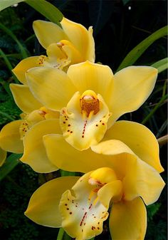 Yellow Cymbidium Orchid.