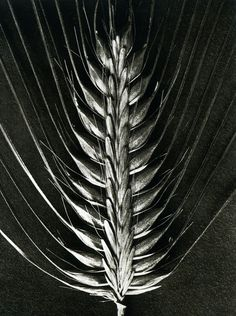 / By Karl Blossfeldt. Karl Blossfeldt, Botanical Art, Botanical Illustration, Macro Photography, Fine Art Photography, Land Art, Bio Design, Monochrome, Patterns In Nature