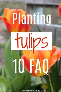 tulips garden care Easy guide to planting tulip bulbs. All your tulip planting questions answered! Gardening For Dummies, Gardening Tips, Organic Gardening, Flower Gardening, Gardening Quotes, Urban Gardening, Vegetable Gardening, Tulips Garden, Garden Plants