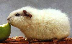 Rex guinea pig - cochon d'Inde Rex