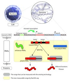 4477 best dna rna images on pinterest researchers successfully sequence total rna of single cells ccuart Gallery