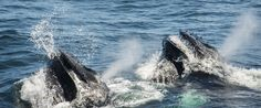 These whales blow a wall of bubbles as they swim to the surface. These massive mammals seem to filter and they alternatively swim then gulp a mouthful of plankton or fish. Here you can see them taking a huge gulp in Cape Cod off Provincetown. Whales, Cape Cod, Mammals, Filter, Bubbles, Wildlife, Surface, Swimming, Fish