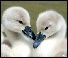 I believe in love....  Baby Swans