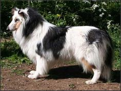 Beautiful Rough Collie with unusual markings