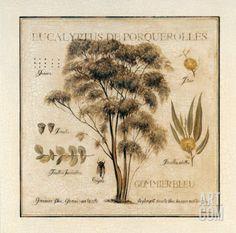 Eucalyptus de Porquerolles Art Print by Pascal Cessou at Art.com