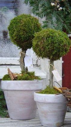 Mooskugelbäume im Pflanzkübel