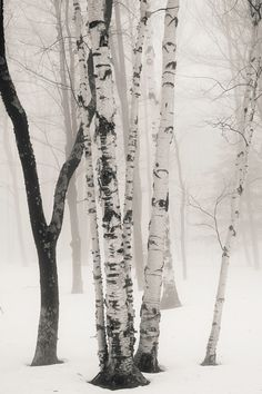 Birches in winter fog - KSinclairPhotography on Etsy