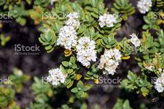 Hebe Masoniae Plant in Flower royalty-free stock photo Flower Photos, Image Now, Royalty Free Stock Photos, Bloom, Flowers, Plants, Photography, Photograph, Fotografie