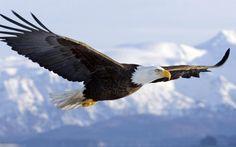 Bald eagle wallpapers flight