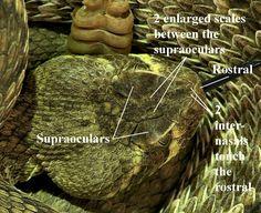 Crotalus scutulatus - Mojave Rattlesnake