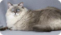 Blackwood, NJ - Ragdoll. Meet Chloe, a cat for adoption. http://www.adoptapet.com/pet/16999215-blackwood-new-jersey-cat