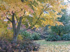 Manchurian Striped Maple, (Snake Bark),  Acer tegmentosum, Tree Seeds (Fast)