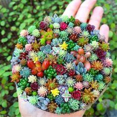 100 pcs/bag Real mini succulent seeds cactus seeds rare perennial herb plants bonsai pot flower seeds indoor plant for home