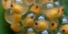 Do guppies lay eggs? - Guppy Fish Care