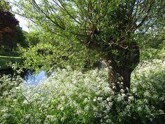 Pollard Willow /Knotwilgen  en fluitekruid) .