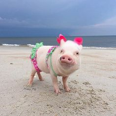 Rockin' my pigkini on the beach today for all the cute lifeguards!#BabeWatch #Smile #ConfidenceIsBeautiful #lifeguard #VictoriasSecret  Maybe some of @theswimmingpigs from the Bahamas will swim up and see us today, Pop. I'm dying to swim with them! #TheSwimmingPigs #Exumas #Bahamas #Priscilla #PrissyAndPop