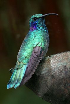 Green Iridescent Hummingbird