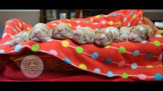 A brand new litter at DownUnder Labradoodles USA, www. Labradoodles, Brand New, Usa, Labradoodle, U.s. States