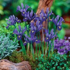 Specie Iris Bulbs...