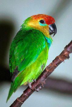 Large Fig-Parrot, Desmarest's or Flame-headed Fig-Parrot - West Papuan Islands, Indonesia & S. New Guinea Parrot Pet, Parrot Bird, Exotic Birds, Colorful Birds, Beautiful Friend, Beautiful Birds, Amazon Parrot, Budgies, Parrots