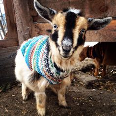 tiny goat in a tiny sweater