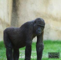 #Gorille au ZooParc de Beauval