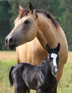 Cream: Buckskin.  Buckskins are bays or browns with a different agouti gene.  They can hide black, since agouti for black is recessive to bay and brown.  This foal inherited the aa agouti gene (allowing full black pigment), one 'a' from each parent, and he failed to inherit the single cream gene from his dam, instead getting crcr.