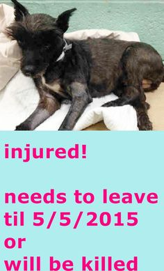 SUPER MEGA URGENT Brooklyn Center CATTY – A1035163 **INJURED! NEEDS TO LEAVE FOR A VET BY TOMORROW MORNING!** SPAYED FEMALE, BLACK / WHITE, CAIRN TERRIER MIX, 8 yrs STRAY – STRAY WAIT, NO HOLD Reason STRAY Intake condition INJ SEVERE Intake Date 05/03/2015 http://nycdogs.urgentpodr.org/catty-a1035163/