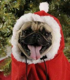 Cute Santa Pug