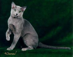 Raça de gato Russo Azul