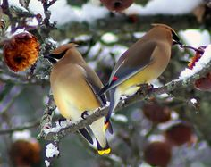 My favorite, cedar waxwings!  I love their unique call.  I just think they look so classy!