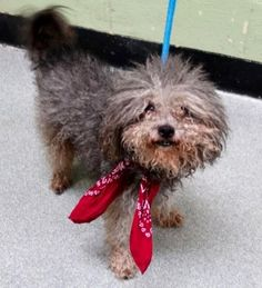 RETURN 6/4/17 PET HEALTH! SAFE 4/20/17 SUPER URGENT Manhattan Center GREYSON aka DEEJAY – A1108879  **RETURNED 06/04/17**  NEUTERED MALE, GRAY, POODLE MIN / MALTESE, 8 yrs RETURN – EVALUATE, NO HOLD Reason PET HEALTH Intake condition EXAM REQ Intake Date 06/04/2017, From NY 10016, DueOut Date 06/04/2017