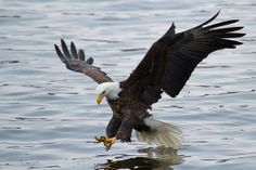 Bald Eagles on the Mississippi River. Less than a mile from our house.