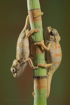 Chameleons mimic a bamboo stalk.