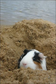 Piggie playing at the beach