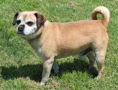 Tuesday's Tails:  Adopt Herbie the Senior Pug