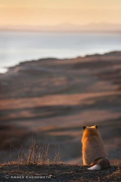 Red Fox by Amber Chenoweth - National Geographic Your Shot