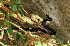 Black Snake from Salalh - Oman