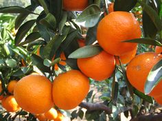 Every Florida resident ought to have at least one orange tree. Period.