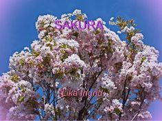 Sakura / Real Beauty Cherry Blossoms / Prague
