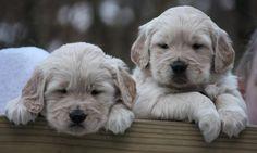 2 female golden retriever pups..7 wks old.