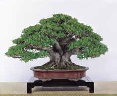Ficus Bonsai Tree.