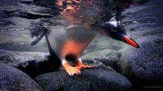 Gentoo Penguin. ~ pic.twitter.com/9IfU0zCJVR