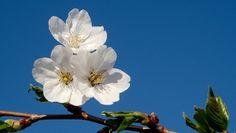ветка, цветки, весна, дерево